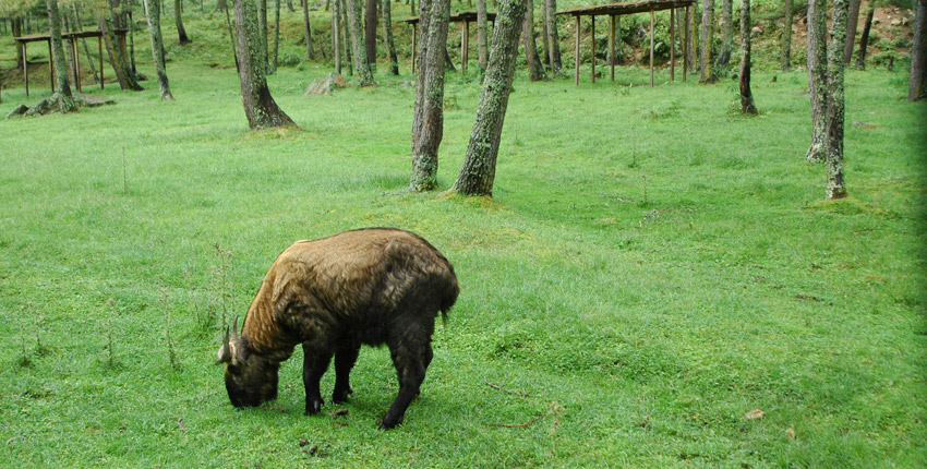 Takin National Animal of Bhutan