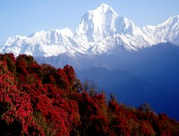 Rhododendron flower and Dhaulagiri from Poonhill