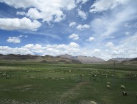 Yak and Ship grazing field in Tibet