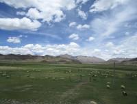 Yak and Ship grazing field in Tibet