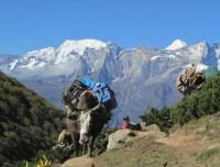Yak on the way trekking