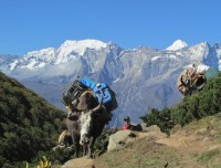 Yak carrying loads on the way trekking Everest Base Camp